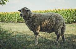 Allevamento di estate Giovani pecore allegre Fotografia Stock Libera da Diritti