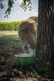Allevamento di estate Pascolo di estate e giovani pecore Fotografia Stock Libera da Diritti