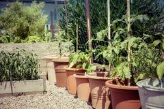 Allevamento di giardinaggio del pomodoro della guerriglia Fotografie Stock