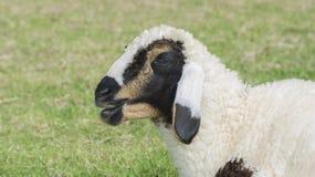 Allevamento di pecore Immagini Stock Libere da Diritti