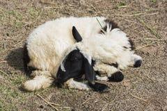 Allevamento di pecore Immagine Stock