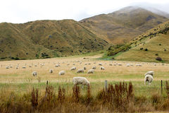 Allevamento di pecore Fotografia Stock