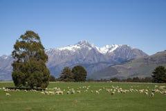 Allevamento di pecore Immagini Stock