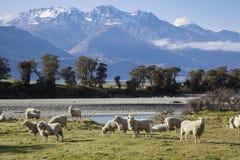 Allevamento di pecore Fotografie Stock Libere da Diritti