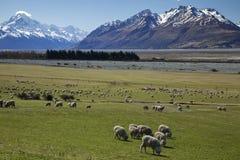 Allevamento di pecore Immagine Stock Libera da Diritti