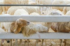 Allevamento di pecore Alimento aspettante delle pecore dai turisti immagine stock libera da diritti