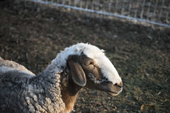 Allevamento di pecore all'aperto Immagine Stock