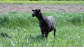 Allevamento di pecore all'aperto stock footage