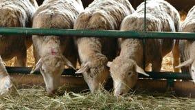 Allevamento di pecore all'interno video d archivio
