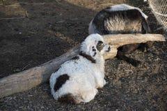 Allevamento di pecore Allevamento di pecore all'aperto Fotografia Stock