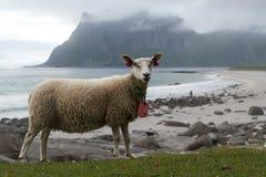 Allevamento di pecore artico, isole di Lofoten Immagine Stock