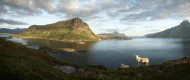 Allevamento di pecore artico, isole di Lofoten II Immagini Stock Libere da Diritti