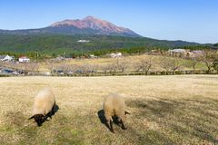 Allevamento di pecore con il supporto Kirishima Fotografie Stock
