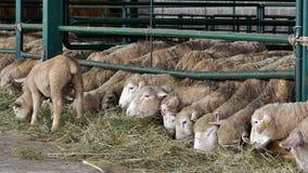 Allevamento di pecore contemporaneo archivi video