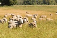 Allevamento di pecore del bambino sopra il giacimento di vetro verde Fotografie Stock
