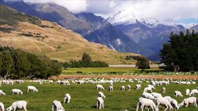 Allevamento di pecore della Nuova Zelanda stock footage