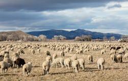 Allevamento di pecore di Mason Valley Fotografia Stock