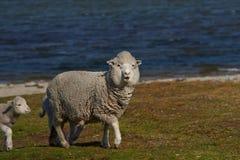 Allevamento di pecore - Falkland Islands Immagini Stock Libere da Diritti