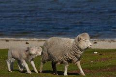Allevamento di pecore - Falkland Islands Fotografie Stock Libere da Diritti