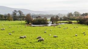 Allevamento di pecore irlandese Fotografia Stock