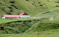Allevamento di pecore in Islanda Fotografia Stock