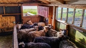 Allevamento di pecore islandese Fotografia Stock Libera da Diritti
