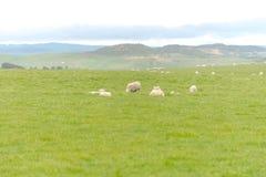 Allevamento di pecore l'Australia ottobre 2017 Fotografia Stock Libera da Diritti