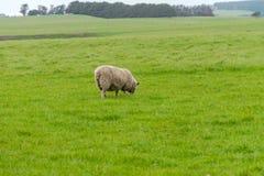 Allevamento di pecore l'Australia ottobre 2017 Immagini Stock