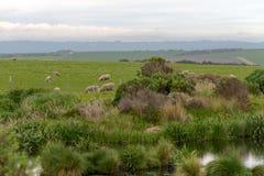 Allevamento di pecore l'Australia ottobre 2017 Fotografia Stock