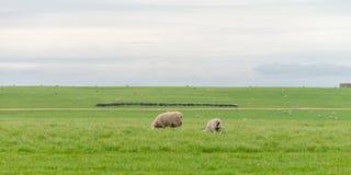 Allevamento di pecore l'Australia ottobre 2017 Immagine Stock Libera da Diritti