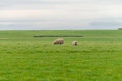 Allevamento di pecore l'Australia ottobre 2017 Immagine Stock