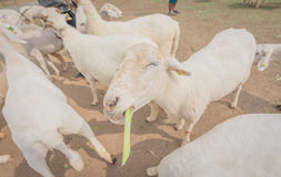 Allevamento di pecore nel cibo dell'erba, stile morbido dell'annata del amd del fuoco Fotografia Stock