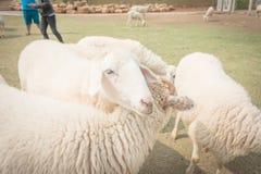 Allevamento di pecore nel cibo dell'erba, stile morbido dell'annata del amd del fuoco Immagini Stock
