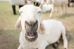 Allevamento di pecore nel cibo dell'erba, stile morbido dell'annata del amd del fuoco Fotografia Stock Libera da Diritti