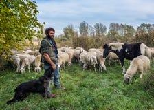 Allevamento di pecore nella pianura di Bergamasca Fotografia Stock