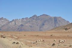Allevamento di pecore nella vastità del Altiplano Immagine Stock Libera da Diritti