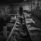 Allevamento di pecore orientale dell'Islanda Fotografie Stock Libere da Diritti