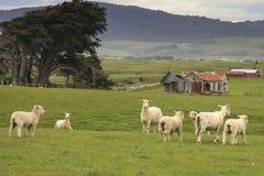Allevamento di pecore, Pahia Fotografia Stock