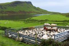 Allevamento di pecore rurale della Scozia Immagini Stock Libere da Diritti
