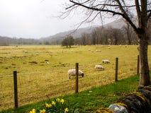 Allevamento di pecore in Scozia Fotografie Stock