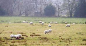Allevamento di pecore in Scozia Fotografia Stock