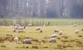 Allevamento di pecore in Scozia Immagine Stock Libera da Diritti