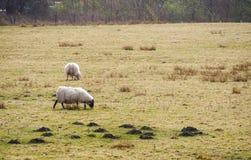 Allevamento di pecore in Scozia Immagine Stock