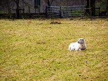 Allevamento di pecore in Scozia Fotografia Stock Libera da Diritti