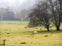 Allevamento di pecore in Scozia Immagini Stock