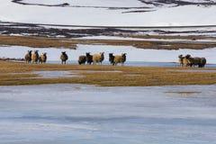 Allevamento di pecore sopra la terra della neve Fotografia Stock Libera da Diritti
