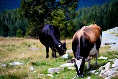 Allevamento di pecore, strada di Transalpina, Romania Fotografie Stock Libere da Diritti