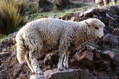 Allevamento di pecore sul modo alla montagna dell'arcobaleno Fotografie Stock Libere da Diritti