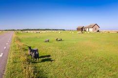 Allevamento di pecore sull'isola di Oland Immagini Stock Libere da Diritti