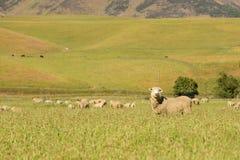 Allevamento di pecore sveglio del bambino sopra il giacimento di vetro verde Immagini Stock